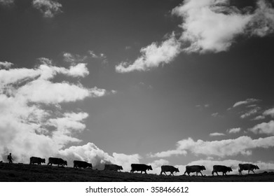 Mountain pasture - Several cows walking in line under a nice but cloudy sky.