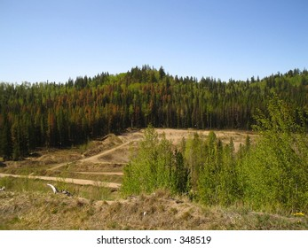 Mountain pine beetle infestation - Canada