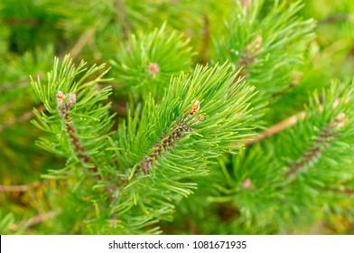 Mountain pine, dwarf mountain pine, scrub mountain pine.