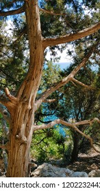 mountain pine on the sea
