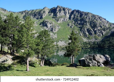 Mountain pines in Pyrenees, Ariege in south of France, Pinus uncinata