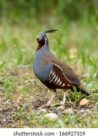 A mountain quail pauses briefly in the open before scurrying for cover