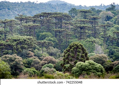Mountain range with araucaria forest on the southern Brazil. The most endangered forest in Brazil.