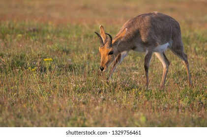 Mountain Reedbuck grazing in the setting light of the day