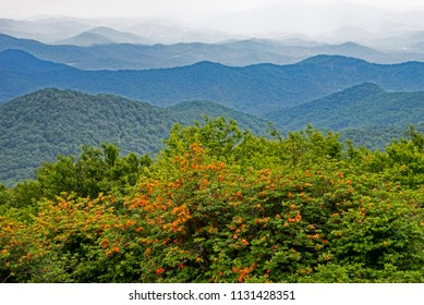 Mountain scenic with orange Flame Azalea on the peak of Grayson Highlands.