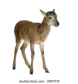 Mountain sheep of the alps in front of a white background