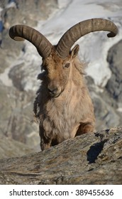 mountain sheep in nature