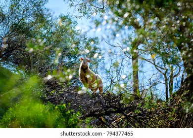 Mountain sheep peeping out of the bush. White sheep with bell.