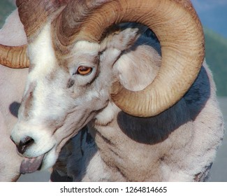Mountain Sheep With Tongue Out