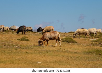Mountain sheeps are grazing on a field. Corse. France.