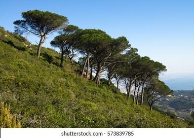Mountain slope at Serra da Arrabida with large Stone Pine (Pinus pinea) trees, aka Parasol Pine, over ground and bush vegetation. Portugal.