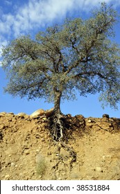 Mountain soil erosion has exposed roots of oak tree