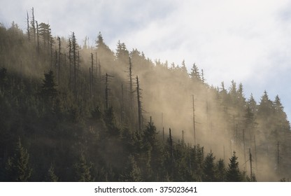 Mountain spruce forest covered by clouds of mist.