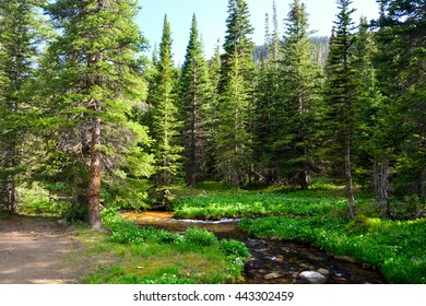 Mountain Stream Surrounded By Pine Trees in a Forest