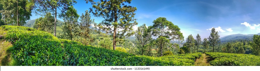 Mountain Tea Garden Puncak Bogor Indonesia Panoramic Landscape View