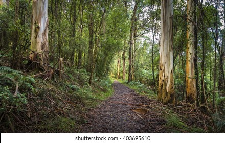 mountain trail fern tree gully Mt Dandenong tall Eucalypt trees and mountain grey gums