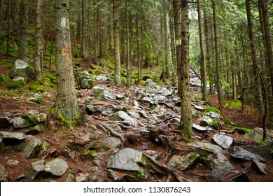 Mountain trail through pine forest with roots and rocks