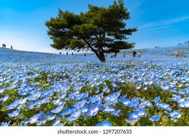 Mountain, Tree and Nemophila (baby blue eyes flowers) field, blue flower carpet