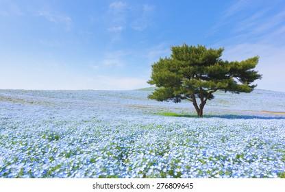 Mountain, Tree and Nemophila at Hitachi Seaside Park in spring with blue sky at Ibaraki, Japan