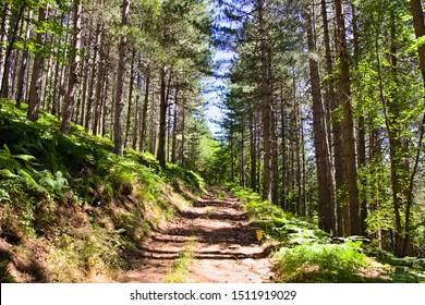 Mountain trekking trail path in a pine forest, Sila National Park, Calabria, Italy
