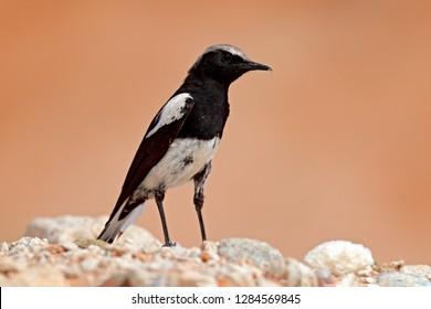 Mountain Wheatear, Myrmecocichla monticola, black and white bird in sand desert in Namibia, dark form bird. Animal behaviour in Africa. Wind in the bird plumage. Wildlife scene from nature