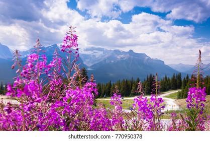 Mountain wildflowers at the lake louise ski resort during the summer