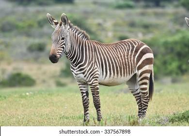 Mountain Zebra, Equus zebra