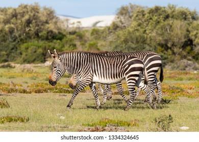 Mountain Zebra, Equus zebra, in the De Hoop national reserve, South Africa