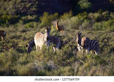 Mountain Zebras in the foreground at the Karoo National Park in the Great Karoo, South Africa