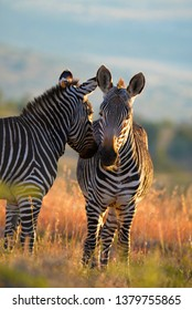 Mountain Zebras in the Great Karoo of South Africa