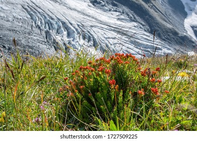 Mountainous landscape. View at apine meadow with Rose root (King's crown, Rhodiola rosea) on the background of open glacier.