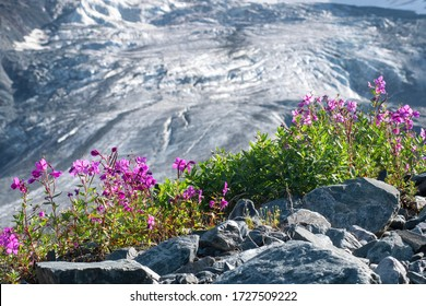 Mountainous landscape. View at apine plants (Dwarf fireweed or Alpine fireweed) on the background of open glacier. Altai, Russia.