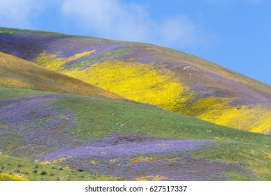Mountains are covered with colorful wildflowers in Temblor Range, Carrizo Plain National Monument, CA