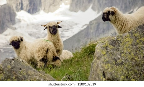 In the mountains of the Fieschertal (Valais, Switzerland) we encounter three Valais Blacknose sheep, or Walliser Schwarznasenschaf, a breed of domestic sheep originating from this region.