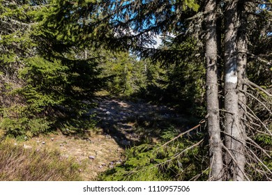 Mountains, footpath and pine trees with crocuses in spring in Romania
