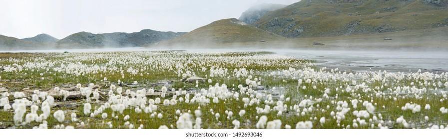 Mountains landscape with Eriophorum Scheuchzeri flower or cottongrass. Gran Paradiso National Park, italian Alps. Italy
