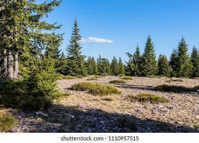 Mountains and pine trees with crocuses in spring in Romania