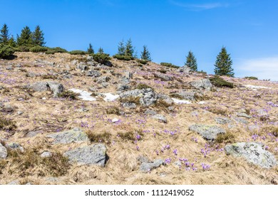 Mountains in spring with pine trees and crocuses