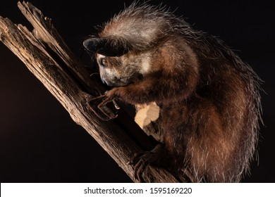 Mounted Mounted Aye Aye lemur (Daubentonia madagascariensis) on a branch taken in display with black background