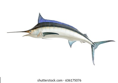 Mounted Blue Marlin isolated against a white background