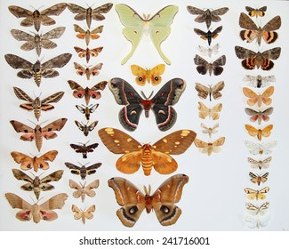Mounted North American Moths Butterflies - Giant Silk Moths, Sphinx Moths, Tiger Moths and Underwing Moths - the most popular moths of North America