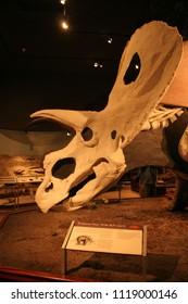Mounted skeleton fossil  Bozeman, Montana/USA-8/23/2010: Torosaurus lotus wide bull lizard Museum of the Rockies