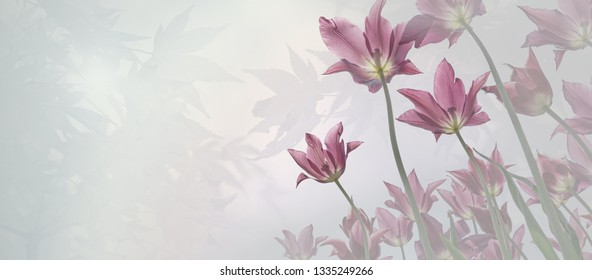 mourning background - pink tulips and gradient pastel color background. perspective from bottonm up. floral sympathy card design with copy space.