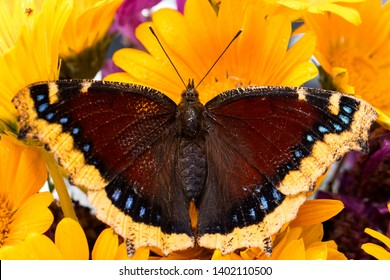 Mourning Cloak butterfly on yellow poppy
