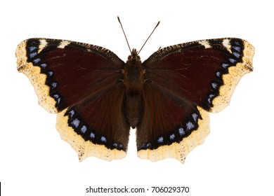 The mourning cloak or Camberwell beauty (Nymphalis antiopa) isolated on white