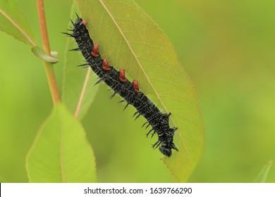 mourning cloak caterpillar eating willow