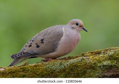Mourning Dove, a.k.a. Turtle Dove, on moss covered log with a nicely blurred green background, taken by a bird feeder in suburban Philadelphia, Pennsylvania, USA