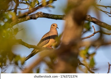 The mourning dove. The bird is also known as the American mourning dove or the rain dove, Carolina pigeon or Carolina turtledove.