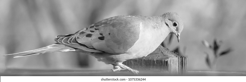 Mourning dove black and white photo