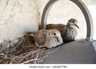 Mourning Dove Chicks in a nest on top of a light.